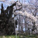 山高神代桜01