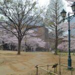 公園_桜06~07