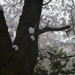 桜枝_06~08